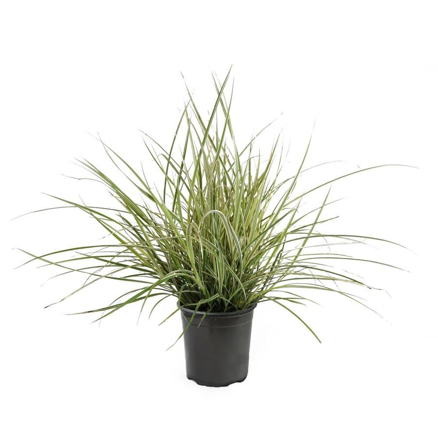 Shop 2 5 quart variegated oat grass l5019 at for Ornamental oat grass varieties