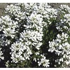 2.25-Gallon Candytuft (L6685)