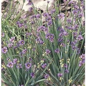 1.5-Gallon Blue-Eyed Grass (L2277)