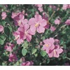 2.5-Quart Rock Rose (L11087)