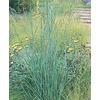 1-Quart Big Bluestem Grass (LW03986)