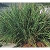 1-Quart Fakahatchee Grass (L10531)
