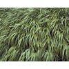 1-Quart Variegated Japanese Forest Grass (LW03974)