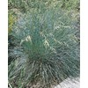 1-Quart Blue Oat Grass (L9321)