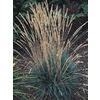 1-Quart Blue Hair Grass (L5788)