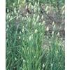 1-Quart Bunny Tails Grass (L20028)