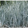 1-Quart Blue Lyme Grass (L8286)