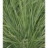 1-Quart Savannah Ruby Grass (LW03102)