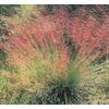 1-Quart Pink Muhly Grass (LW02603)