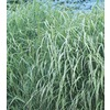 1-Quart Switch Grass (L8329)