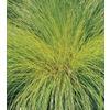 1-Quart Prairie Dropseed Grass (L16411)