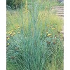 1.5-Gallon Big Bluestem Grass (LW03986)