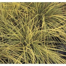 1.5-Gallon Tufted Hair Grass (L2148)