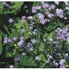 1-Gallon Siberian Bugloss (L8072)