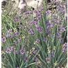 1-Quart Blue-Eyed Grass (L2277)