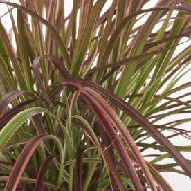 Shop 2 5 quart fireworks fountain grass lw03464 at for Ornamental grass with red flowers