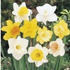 1.21-Pint Daffodil Bulbs