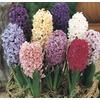 1-Pint Hyacinth (L21439HP)