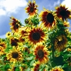 Seeds of Change Gloriosa Polyhead Sunflower Organic Flower Seed Packet