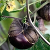 Seeds of Change Purple De Milpa Tomatillo Organic Vegetable Seed Packet