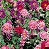 Seeds of Change Giant Princess Aster Seed Packet