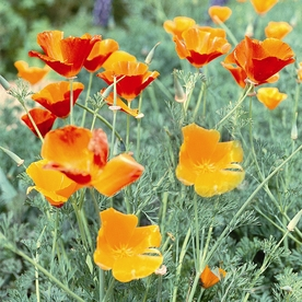 Seeds of Change California Poppy Mix Organic Flower Seed Packet