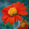Seeds of Change Mexican Sunflower Organic Flower Seed Packet