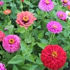 Seeds of Change Zinnia, Cut and Come Again Seed Packet