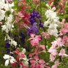 Seeds of Change Larkspur, Beauty Spire Mix Seed Packet