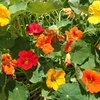 Seeds of Change Sturtium Mix Organic Flower Seed Packet