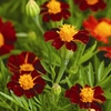 Seeds of Change Red Metamorph Marigold Organic Flower Seed Packet