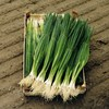 Seeds of Change Parade Bunching Onion Organic Vegetable Seed Packet