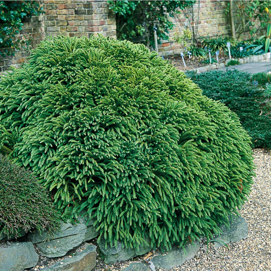 Shop 2 25 Gallon Insignificant Dwarf Cryptomeria Lw02535