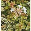 3-Gallon White Kaleidoscope Abelia Flowering Shrub (LW03279)