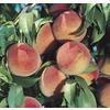 Dwarf Peach Tree Tree (L5481)