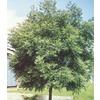 Black Walnut (L4850)