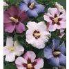 Mixed Rose of Sharon Flowering Shrub (L1203)