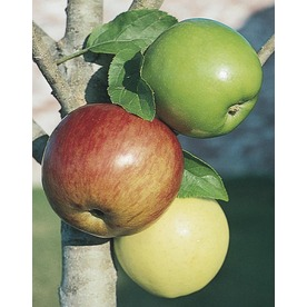 3-n-1 Apple Tree (L7316)