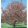 Flowering Crabapple (L5985)