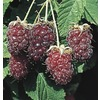 Black Raspberry Small Fruit (LW01698)