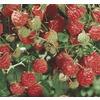 Raspberry Small Fruit (L5813)