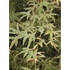 5.98-Gallon Butterfly Japanese Maple (L7725)