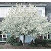 9.55-Gallon Spring Snow Crabapple (L3593)