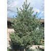12.07-Gallon Scotch Pine (L3939)