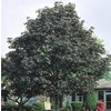  19.78-Gallon Crimson King Norway Maple (L3166)