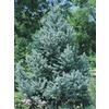 12.07-Gallon Fat Albert Spruce (L4805)