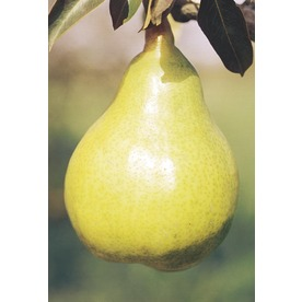 5.98-Gallon Bartlett Pear Tree (L1386)