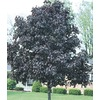 19.78-Gallon Royal Red Norway Maple (L1156)