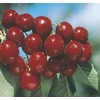 5.98 Gallon(S) Bing Cherry (L1393)