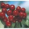 5.98-Gallon Bing Cherry Tree (L1393)